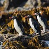 Snares Crested Penguins about to go to sea