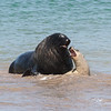 An amorous male New Zealand Sea Lion