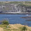 A Yellow-eyed Penguin dwarfed against the distant columns of volcanic basalt in Sandy Bay
