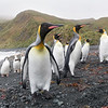 King Penguins share the shore with the Royals