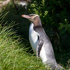 Yellow-eyed Penguins are the rarest of all penguins and are extremely nervous
