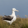 A young Southern Royal Albatross standing proud on Enderby Island