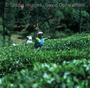 Tea picker - Bandarawela, Sri Lanka. August 1998