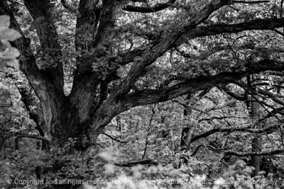 trees-wdsm-27sep15-18x12-003-bw-5343