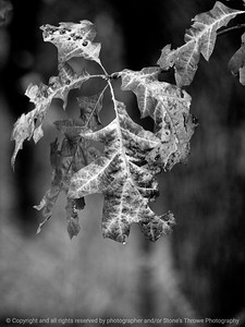 015-leaf_autumn-wdsm-17oct12-001-bw-8863