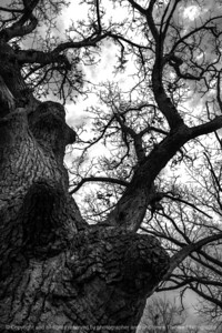 015-tree-wdsm-29feb16-12x18-003-bw-6858