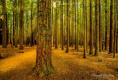 Redwoods in Rotorua