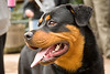 Rottweilers : 4 galleries with 120 photos