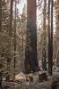 Rough Fire; Sequoia-Kings Canyon NP, Sequioa NF and Sierra NF, CA, 2015