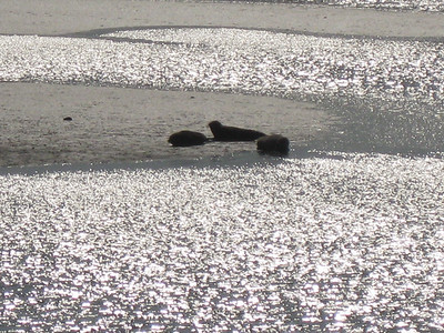 Seals on the Tees