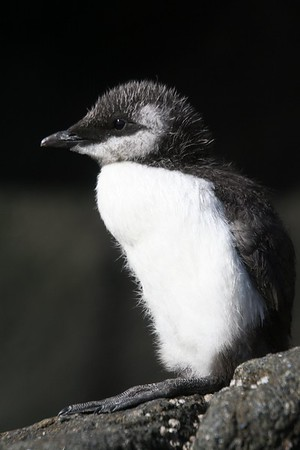 MURRE CHICK