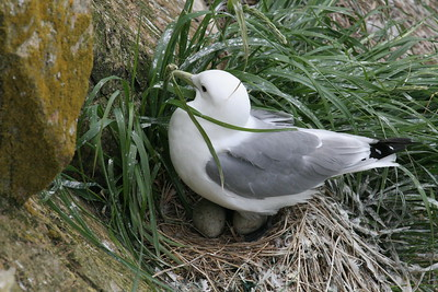 Black legged kittiwake on nest