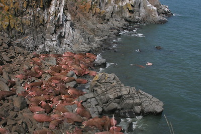 View of pacific walrus at First Beach