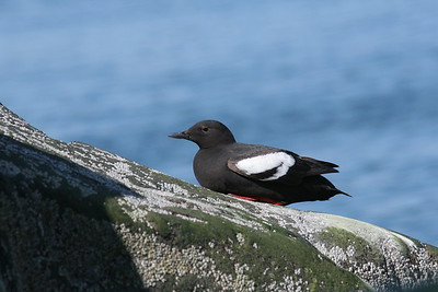 Pigeon guillemot on rock