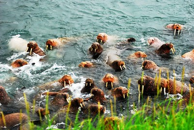 SWIMMING WALRUS GROUP