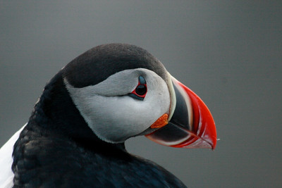 Puffins and Icelanders