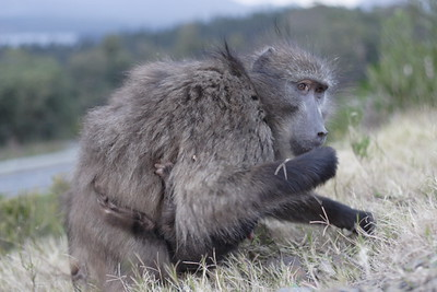 Baboons at Grabouw Pass