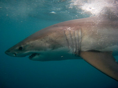 Great White Diving 2