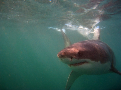 Kleinbaai Shark Diving