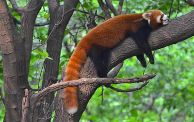 Red panda at the Panda Research Center
