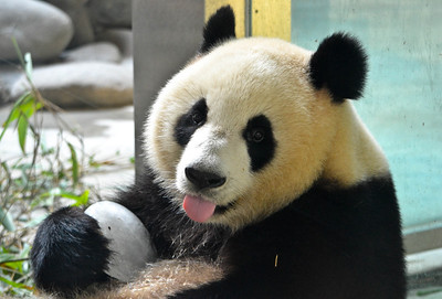 Panda cooling off with an ice cube