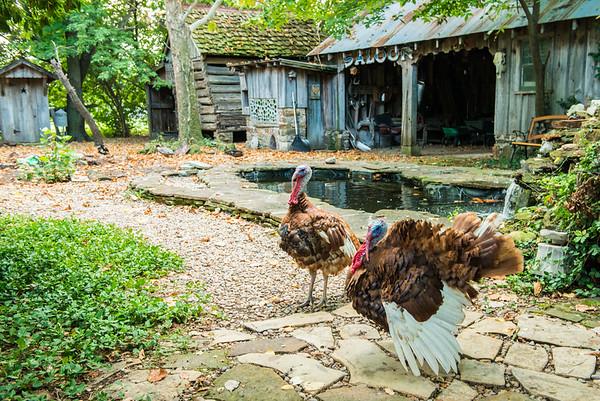 Turkeys Red Oak II