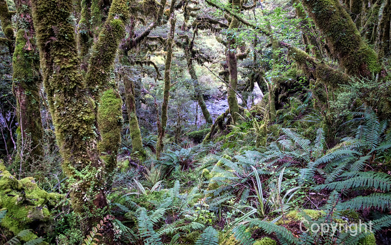 Lush Rainforest Routeburn
