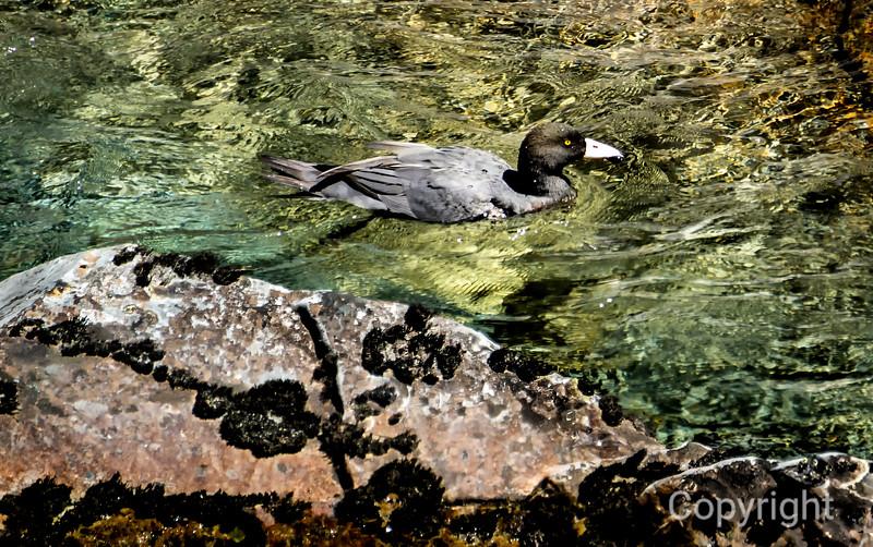 Endangered Blue Duck