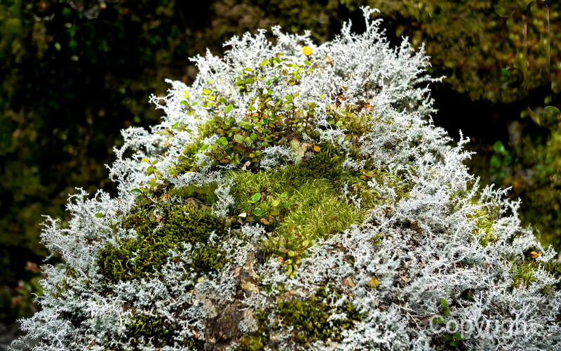Lichens along the Routeburn