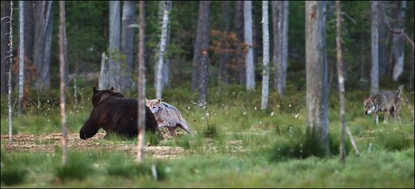 Bjørn og Ulv