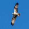 Osprey - Fiskeørn