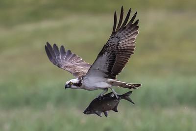 Birds of Prey ~ Rovfugle