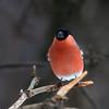 Dompap / Eurasian bullfinch