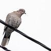 Tyrkerdue / Eurasian collared dove