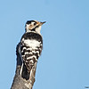 Dvergspett / Lesser spotted woodpecker