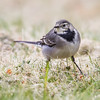 Linerle / White wagtail