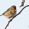 Gråsisik / Common redpoll