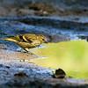 Grønnsisik / Eurasian siskin