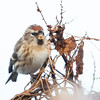 Gråsisik / Common redpoll