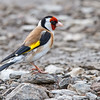 Stillits / European goldfinch