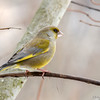 Grønnfink / European greenfinch
