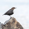 Fossekall / White-throated dipper
