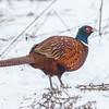 Fasan / Common pheasant