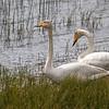 Sangsvane / Whooper swan