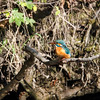 Isfugl / Common kingfisher