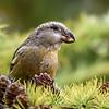 Furukorsnebb / Parrot crossbill
