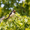 Låvesvale / Barn swallow