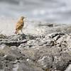 Skjærpiplerke / Eurasian rock pipit