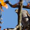 Spurvehauk / Eurasian sparrowhawk