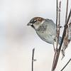 Gråspurv / House sparrow
